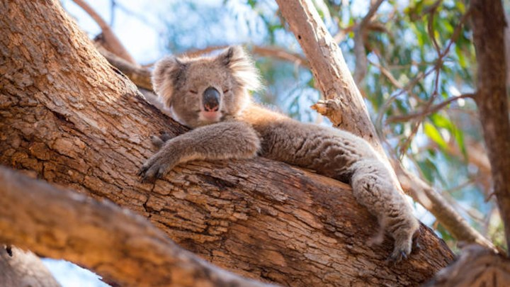 Koala chlamydia infections