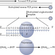 Principle of Pyrosequencing – Step 1