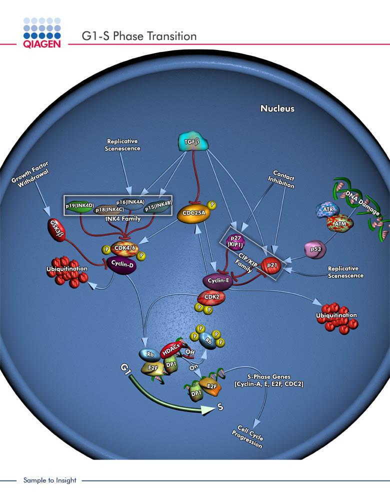 qiagen geneglobe pathways g1 s phase transition