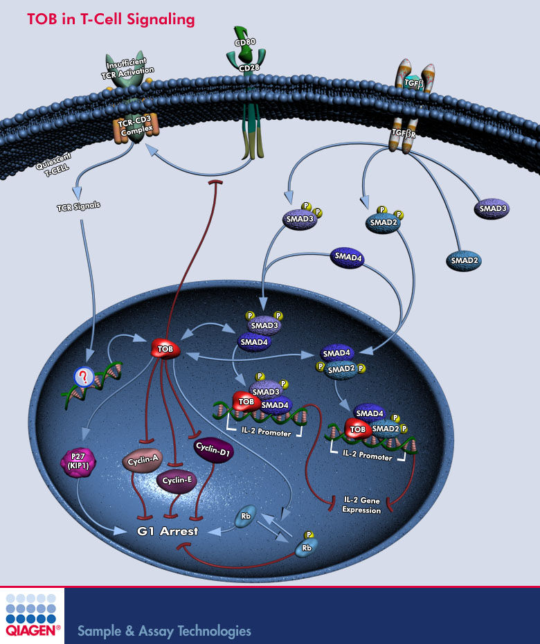 Tgf beta signaling pathway animation games