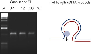 Full-Length RT-PCR products — A.