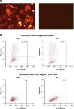 AllStars Negative Control siRNA is incorporated into RISC.