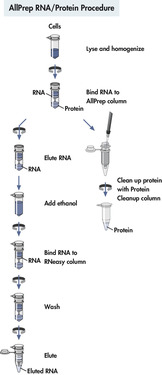 AllPrep RNA/Protein procedure.