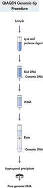 QIAGEN Genomic-tip procedure.