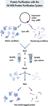 Protein purification with the Ni-NTA protein purification system.