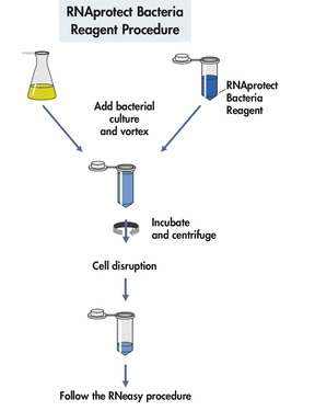 RNAprotect Bacteria Reagent procedure.