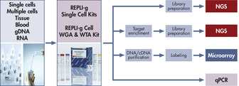 REPLI-g amplified cDNA performs like gDNA in downstream experiments.