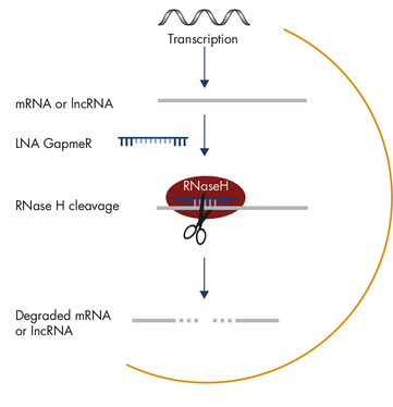 Silencing of mRNA and long non-coding RNA using Antisense LNA GapmeRs.