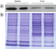 Reliable western blotting and SDS-PAGE.