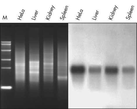 Isolation of mRNA from total RNA.