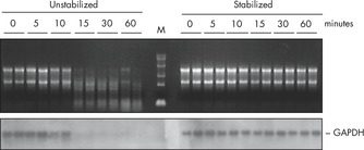 RNAprotect Reagent prevents degradation of mRNA in tissues.