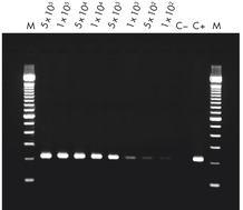RT-PCR of RNA from as few as 100 cells.
