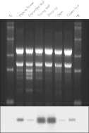 Tissue specificity of histone H4 expression.