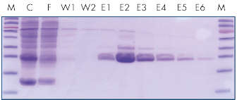 <p>Efficient purification of <i>Strep</i>-tagged GFP.</p>