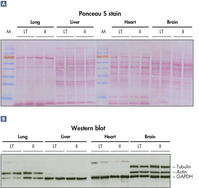 Intact protein suitable for all types of analysis.