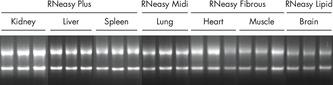 Efficient disruption and homogenization of animal tissues.