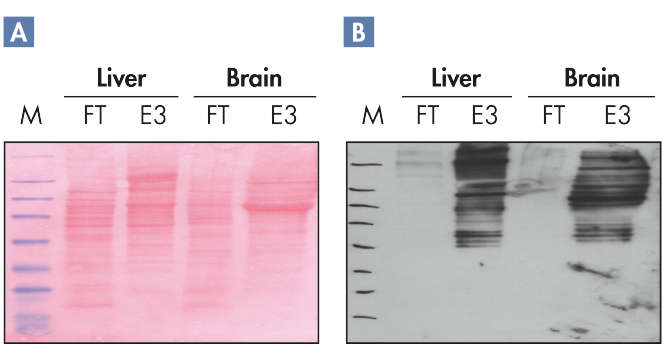 Successful purification of phosphoproteins.