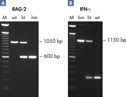 Genotyping transgenic mice.