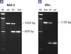 Genotyping transgenic mice.