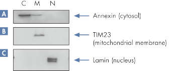 Specific separation of marker proteins.