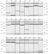 <p>Screenshot showing data from PCR fragment analysis.</p>