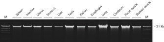 Agarose gel electrophoresis of high-quality, high molecular weight DNA from 12 different PAXgene Tissue-fixed (PF) tissue types, processed on the QIAcube.