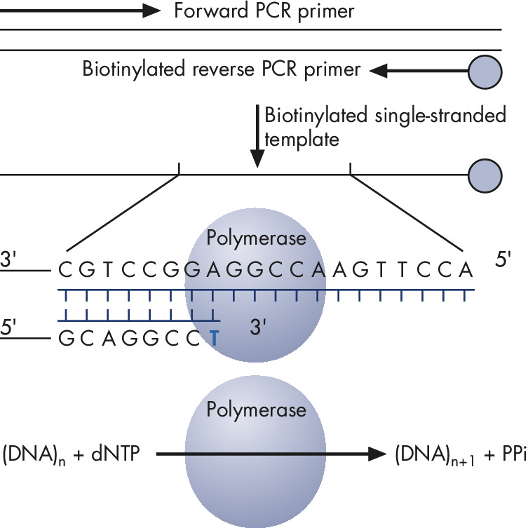 Principle of Pyrosequencing — step 1.