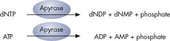Principle of Pyrosequencing — step 4.