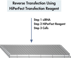 Reverse transfection using HiPerFect Transfection Reagent.