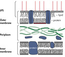 Bacterial cell wall.