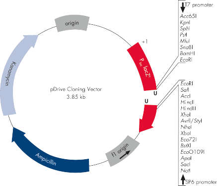 pDrive Cloning Vector.