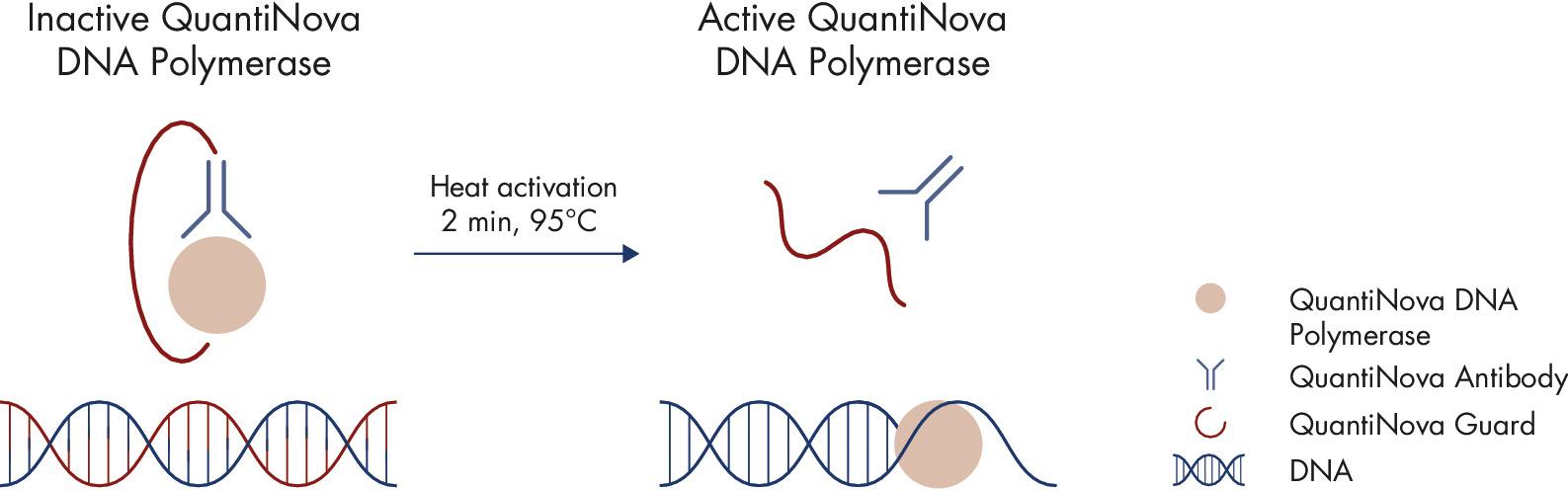 Principle of the novel QuantiNova hot-start mechanism.