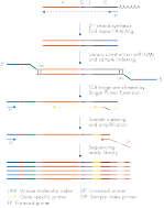 QIAseq Immune Repertoire RNA Library Workflow.