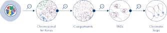 Levels of chromatin organization