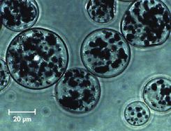 <p>Micrograph of Ni-NTA Magnetic Agarose Beads.</p>