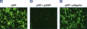 Effective knockdown after shRNA vector transfection.
