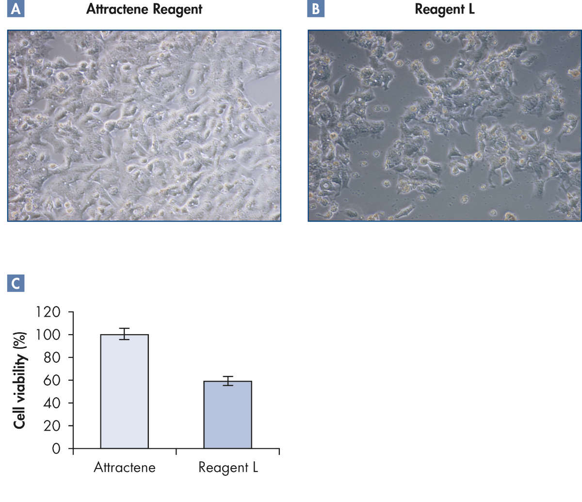 Healthy cells after transfection using Attractene Reagent.