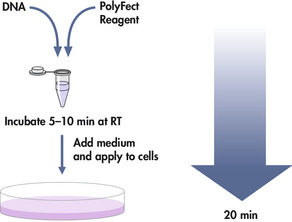 PolyFect transfection procedure.