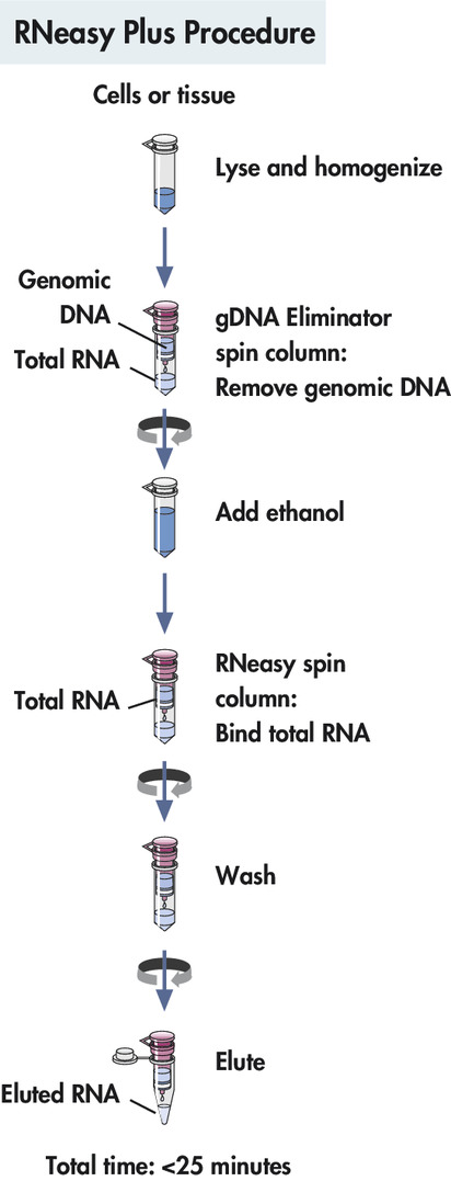Total RNA extraction protocol: RNeasy Plus procedure.