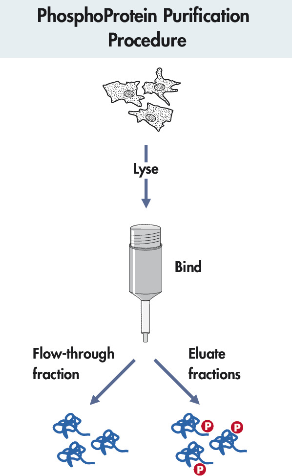 Phosphoprotein purification procedure.