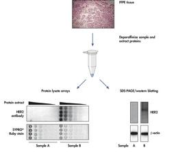 Compare FFPE tissue samples at the protein level.