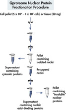 Nuclear protein fractionation procedure.