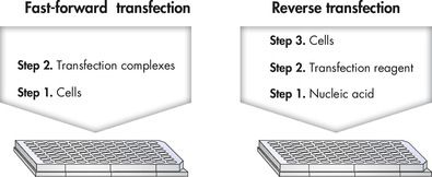 Steps in fast-forward and reverse transfection