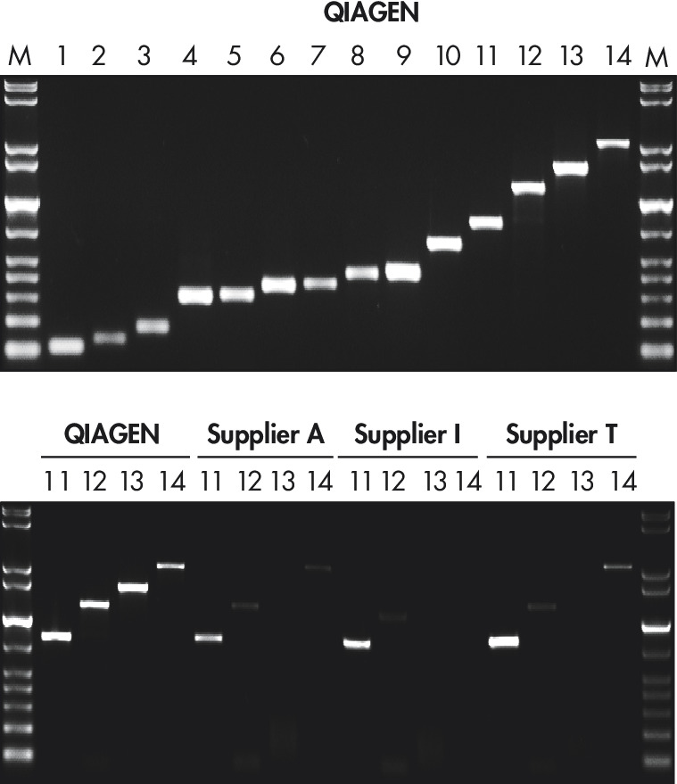 High yields of PCR product without optimization.