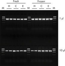 High PCR performance of DNA purified using the BioSprint 15 DNA Blood Kit.