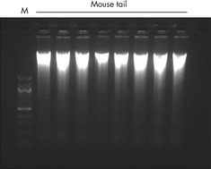 Purification of high-quality genomic DNA from mouse tail.