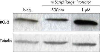 Inhibition of miRNA regulation of BCL-2.