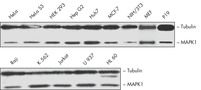 Expression of MAPK1 Protein in Several Cell Lines.