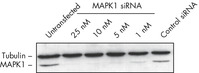 Western Blot Analysis Shows Effective MAPK1 Knockdown.