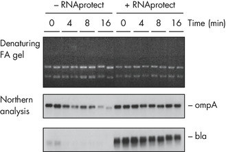RNAprotect Bacteria Reagent prevents mRNA degradation.